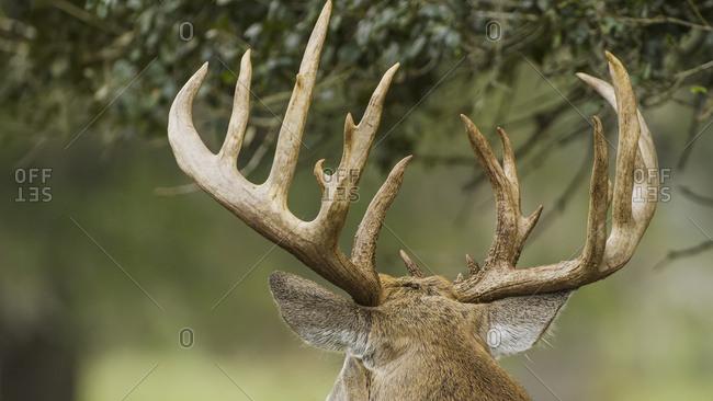 Antlers of a white-tailed deer (Odocoileus virginianus)