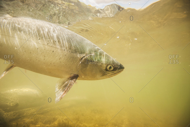 Underwater view of a Sockeye salmon, Alaska