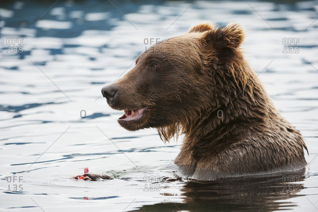 Close up of a Brown bear eating salmon while in the water near boat docks, Brooks River, Katmai National Park, Southwest Alaska