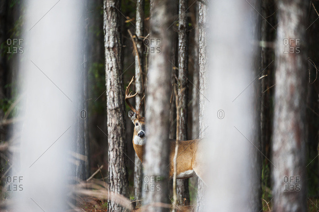 Whitetail (Odocoileus virginianus) buck in thick pines