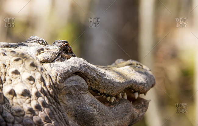 Alligator (Alligator mississippiensis) smiling - Offset