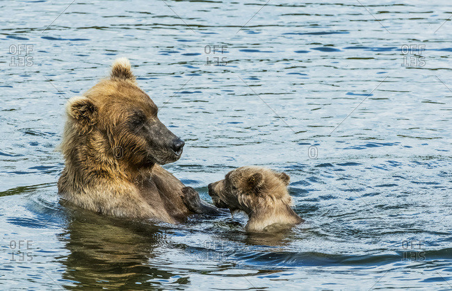 Brown bear (ursus arctos) sow spending time with her cub in the river
