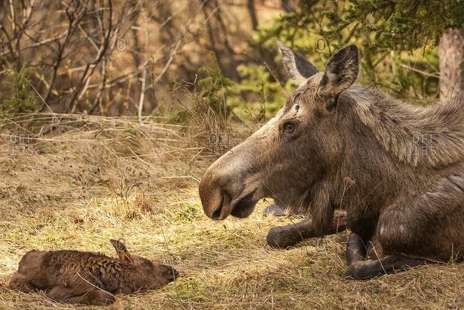 Moose cow with newborn calf (alces alces)