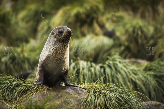 Antarctic fur seal (Arctocephalus gazella) in rocky tussock grass