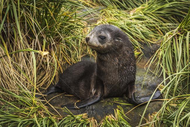 Antarctic fur seal pup (Arctocephalus gazella) with turned head