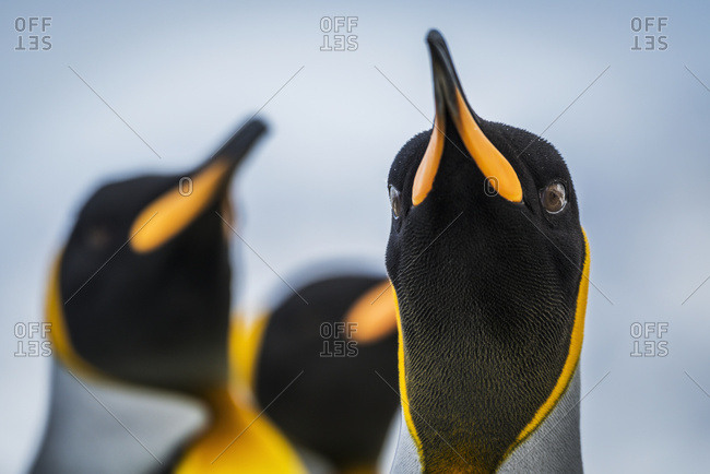 Close up of King Penguin (Aptenodytes patagonicus) staring at camera