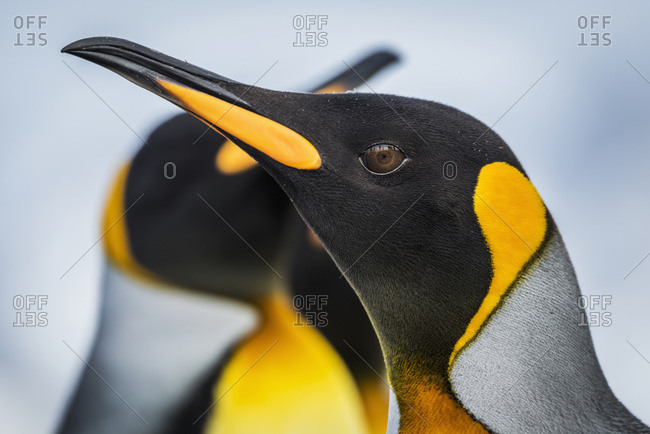 Close up of King Penguin (Aptenodytes patagonicus) with others behind