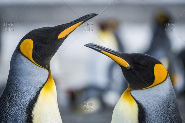 Close up of two King Penguins (Aptenodytes patagonicus)