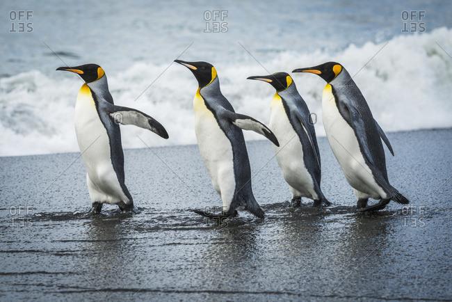 Four king penguins (Aptenodytes patagonicus) walking together on beach