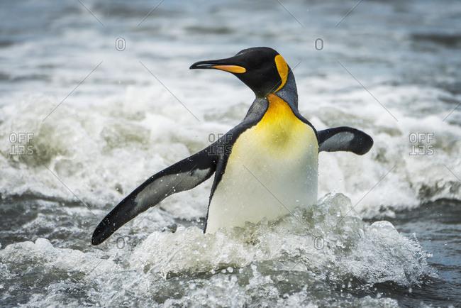 King penguin (Aptenodytes patagonicus) wading through surf towards beach