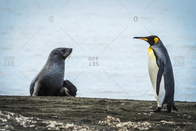 King penguin (Aptenodytes patagonicus) walking on beach past an Antarctic fur seal (Arctocephalus gazella)