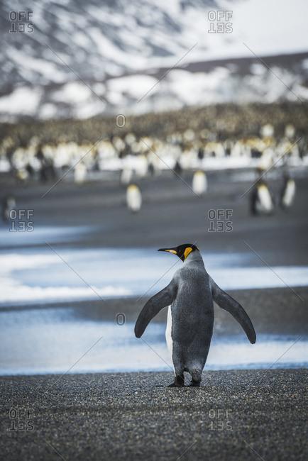 King penguin (Aptenodytes patagonicus) walking on beach towards rookery
