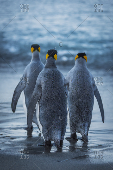 Three king penguins (Aptenodytes patagonicus)  crossing a wet, sandy beach