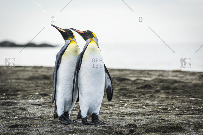 Two king penguins (Aptenodytes patagonicus) mirroring positions of beaks