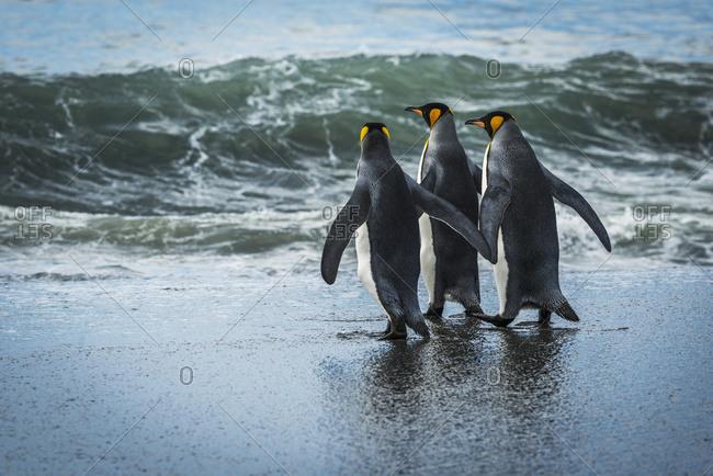 Three king penguins (Aptenodytes patagonicus) walking on sandy beach