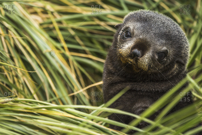 Antarctic fur seal pup (Arctocephalus gazella) nestled in tussocks