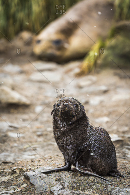 Antarctic fur seal pup (Arctocephalus gazella) and elephant seal (Mirounga leonina)