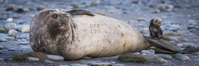 Antarctic fur seal pup (Arctocephalus gazella) beside elephant seal (Mirounga leonina)