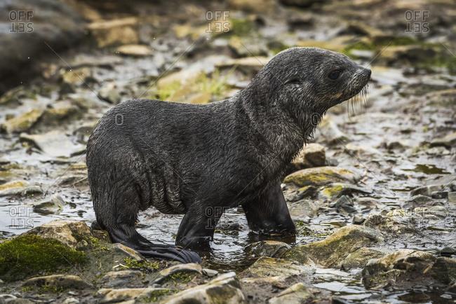 Antarctic fur seal pup (Arctocephalus gazella) crosses rocky stream