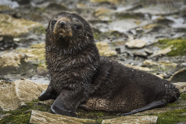 Antarctic fur seal pup (Arctocephalus gazella) on mossy rocks