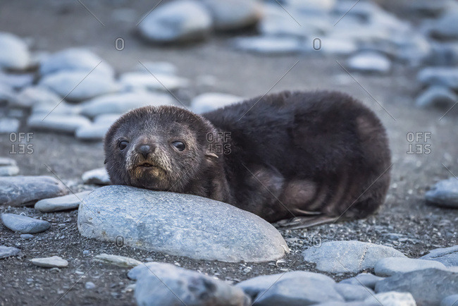 Antarctic fur seal (Arctocephalus gazella) resting head on stone