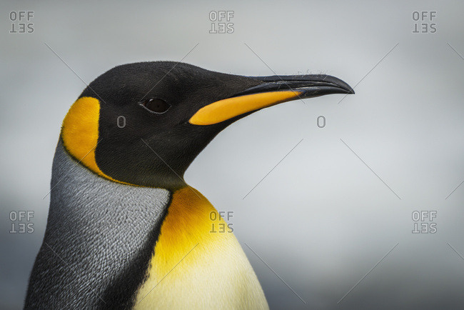 Close up of king penguin (Aptenodytes patagonicus) with grey background