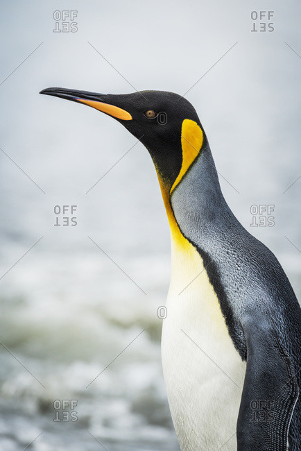 Close up of king penguin (Aptenodytes patagonicus) with surf behind