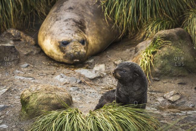 Elephant seal (Mirounga leonina) behind Antarctic fur seal pup (Arctocephalus gazella)