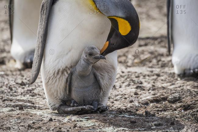 King penguin (Aptenodytes patagonicus) bending towards chick between feet