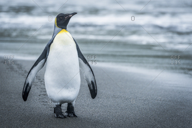 King penguin (Aptenodytes patagonicus) on beach with flippers raised