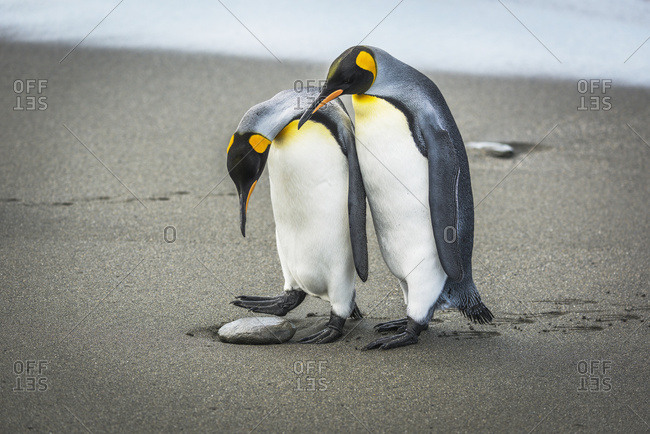A king penguins looking down at a rock