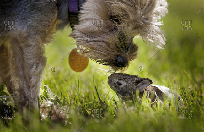 A cute Yorkie dog sniffing a little baby bunny rabbit nestled in the grass