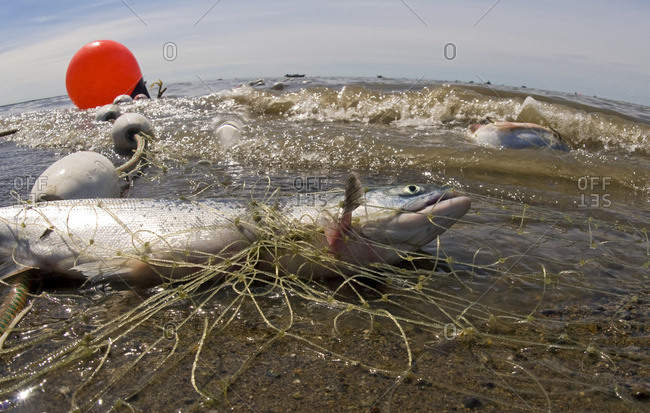 Set net on the beach with caught Sockeye salmon, Bristol Bay, Southwest Alaska, summer