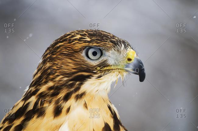 Red-tailed Hawk (Buteo jamaicensis), Ecomuseum