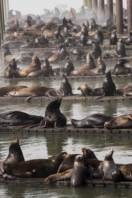 California Sea Lions (Zalophus californianus)) haul out on the docks