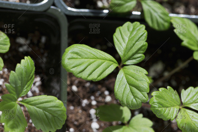 Alpine strawberry plants growing indoors from seeds