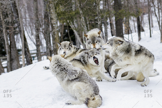 Grey wolves (Canis lupus) demonstrating hierarchy