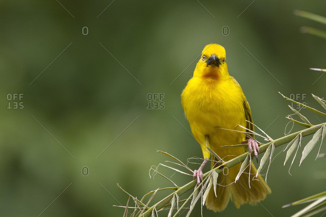Yellow weaver bird balancing on branch