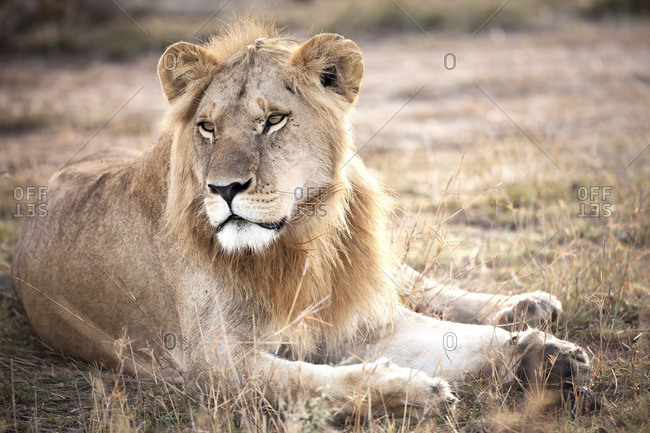 Resting lion looking away