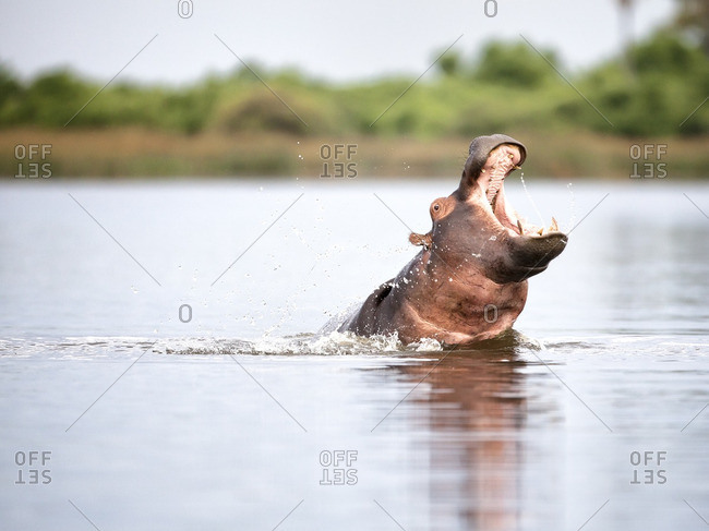 A hippo threat display with splashing water