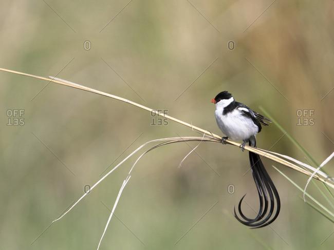 Pin-tailed whydah bird