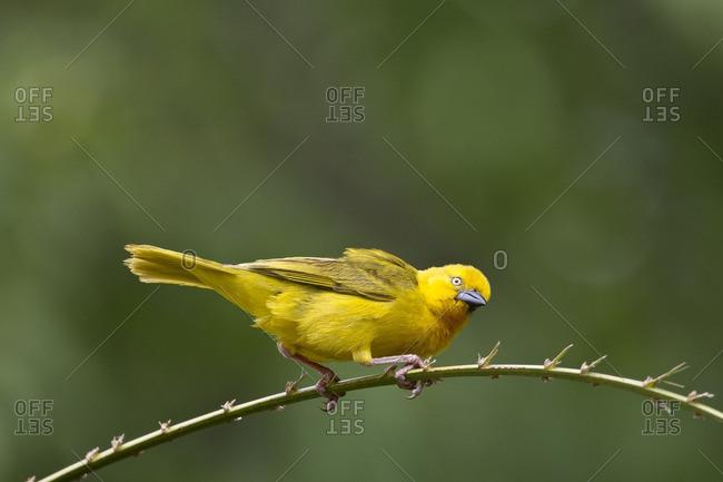 Yellow weaver balancing on a branch