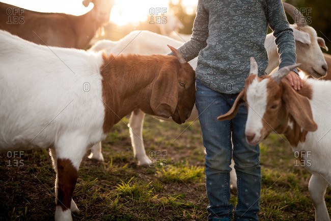Child standing next to goats