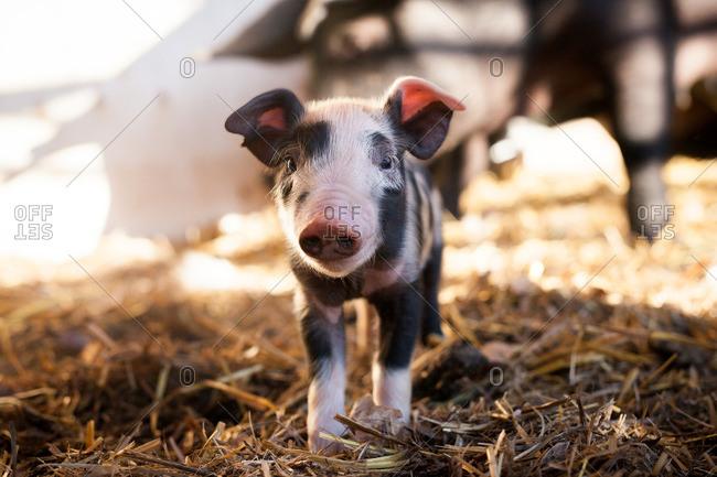 Portrait of a piglet