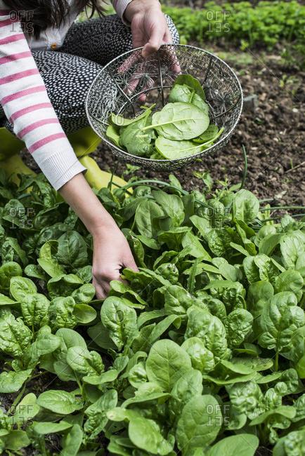 Picking spinach in a home garden. Bio spinach