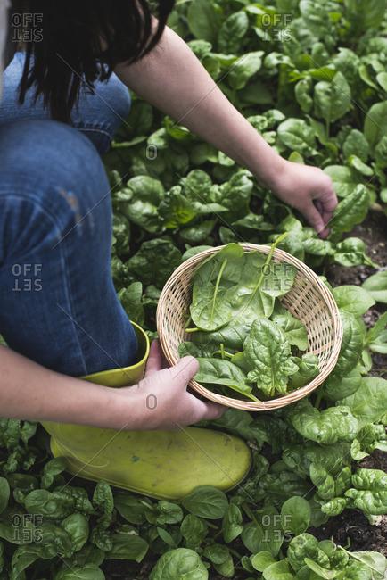 Picking spinach in a home garden, bio spinach