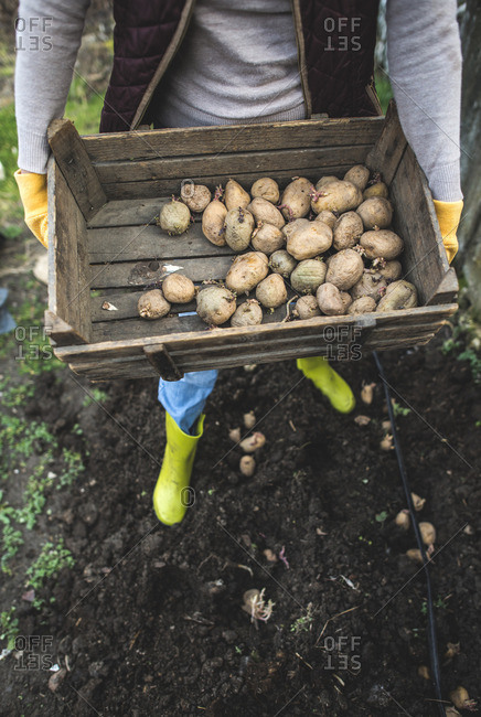 Planting potatoes, wooden box with potatoes