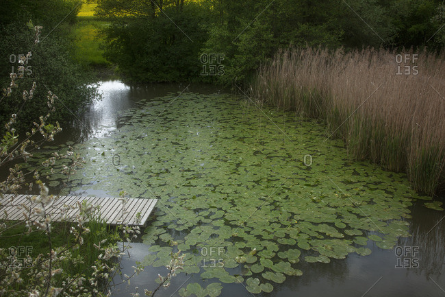 Surface of lily pond with wooden dock