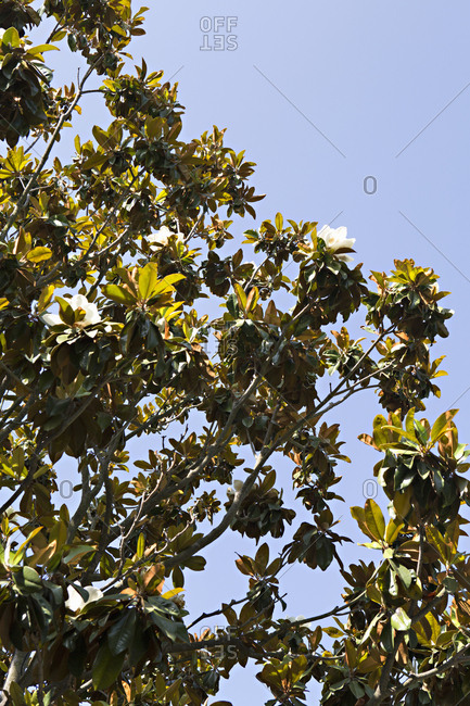Branches of magnolia tree
