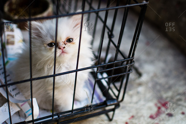 Fluffy white kitten in a cage